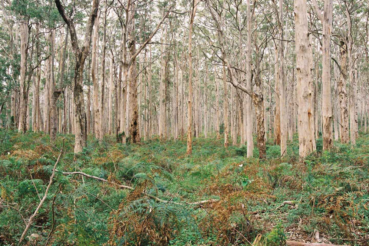 Large Trees in Boranup Forest